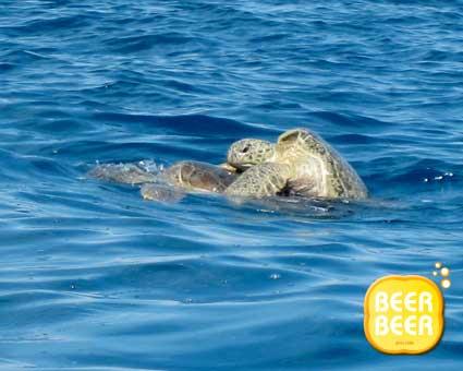 Turtle Mating @ Redang